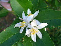 My Edible Yard Meyer Lemon Blossom