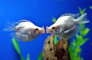 całujące się ryby