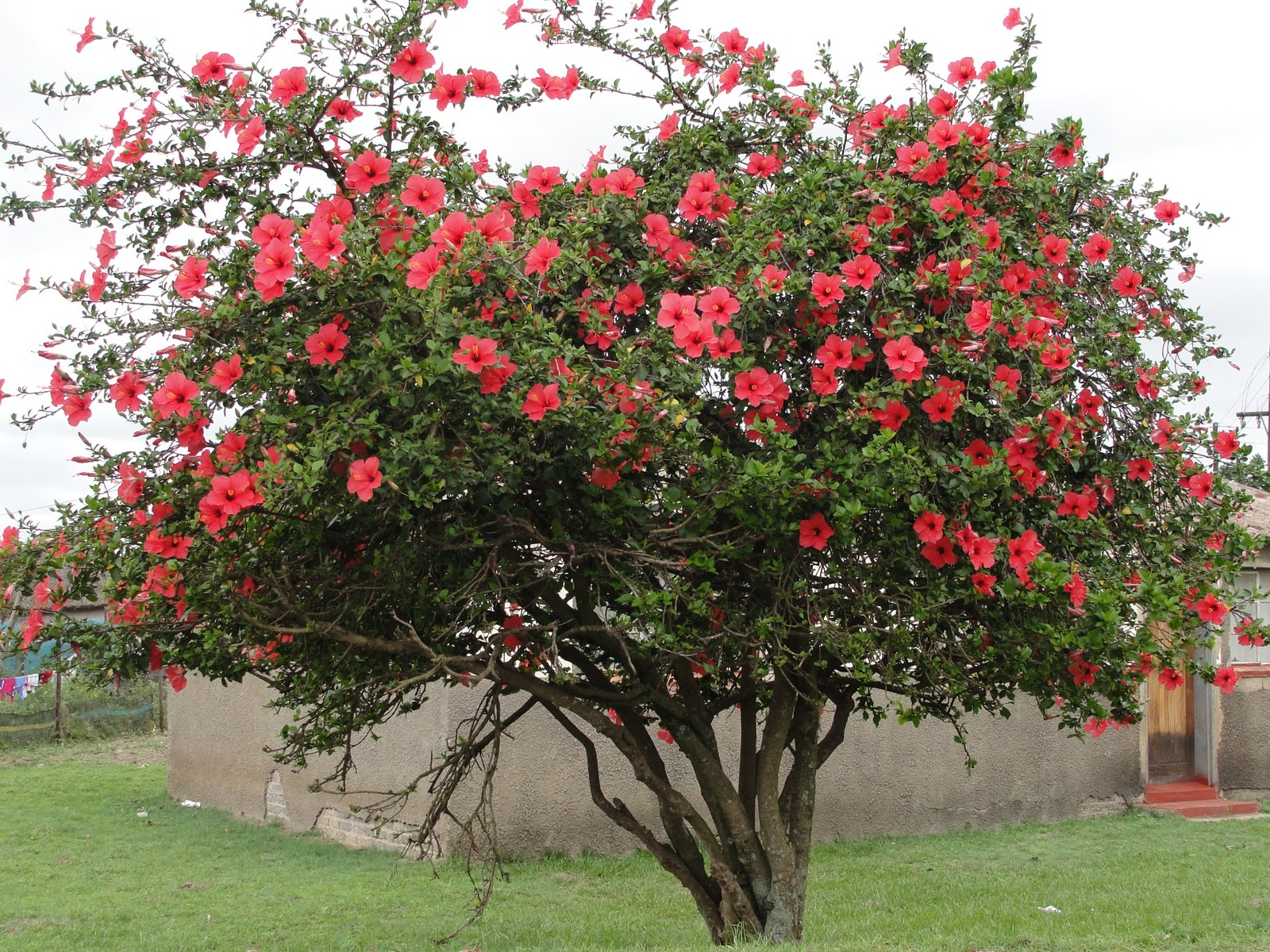 Hibiscus tree hibiscus and trees on pinterest for Purchase trees