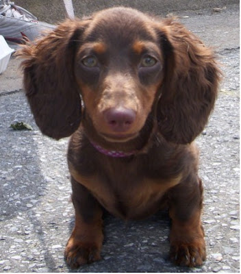 miniature long haired dachshund puppies. miniature long haired