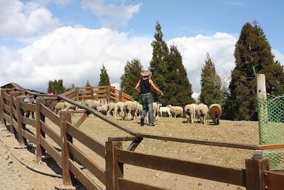 青青草原,待會牧羊犬要表演把羊帶下來