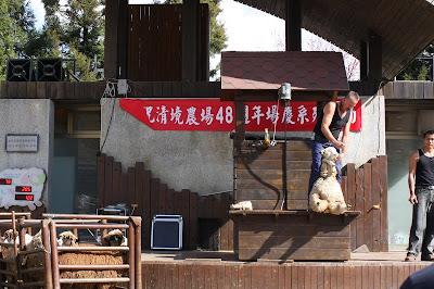 青青草原,很會講國語和笑話的外國人在表演剃羊毛