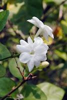 Bunga Melati Indonesia