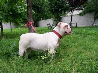 Bulldog Inglese Femmina E Boxer Maschio A Segrate   ADOTTATI!!! BOXER  ADOTTATO GRAZIE AD ADOTTAUNBULL!!!