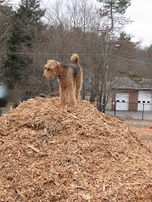 Lula-belle, queen of Medway's Dog Park Woodchip pile