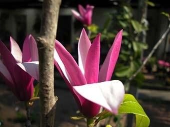 Magnolio en flor