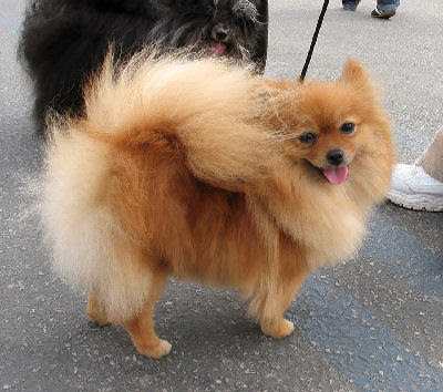 long haired chihuahua pictures. long haired chihuahua pictures