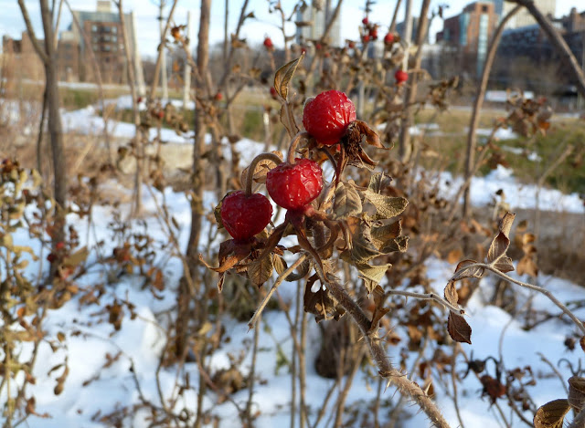 Red Rose hips at Brooklyn Bridge Park in winter