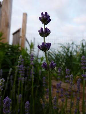 Lavender flowers at Floyd Bennett Garden, Brooklyn