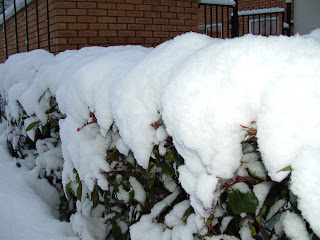 Snow covered bush outside my apartment