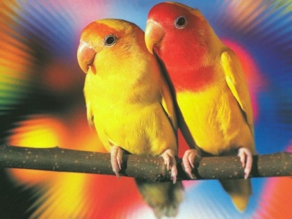 free love birds clipart. images of lovebirds.