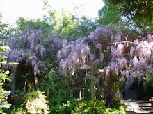 THE WISTERIA IN BLOOM!