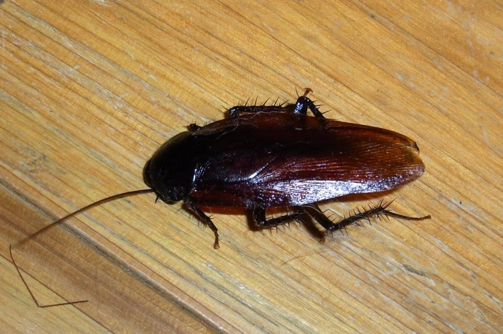 ゴキブリの画像 p1_36