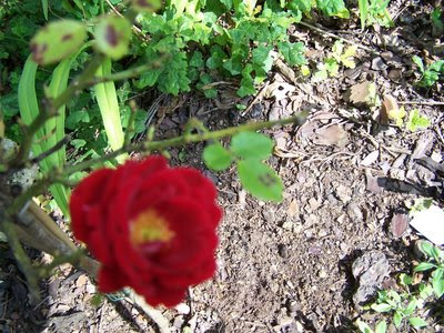 bienvenue dans mon jardin a fill sur sarthe celebrons la rose respirer une rose nous ramene. Black Bedroom Furniture Sets. Home Design Ideas
