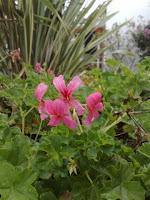 gerânio (Pelargonium)