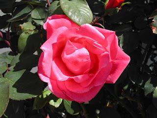 rose_27032009