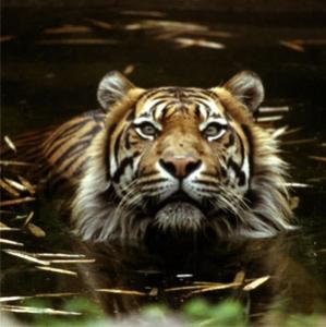 foto harimau jawa - gambar hewan