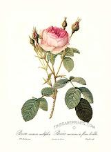Ku Suke Munge rose