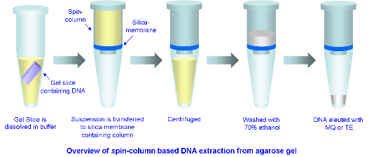 the extraction of purified dna from Dna extraction dna extraction is the process by which a cell is broken open to expose and extract its dna this is done by breaking down and emulsifying the fat and proteins that make up the cell's membrane through the addition of both salt and detergent solutions.