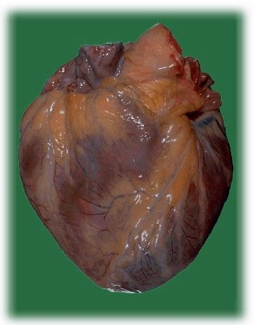 Real human heart images - photo#28