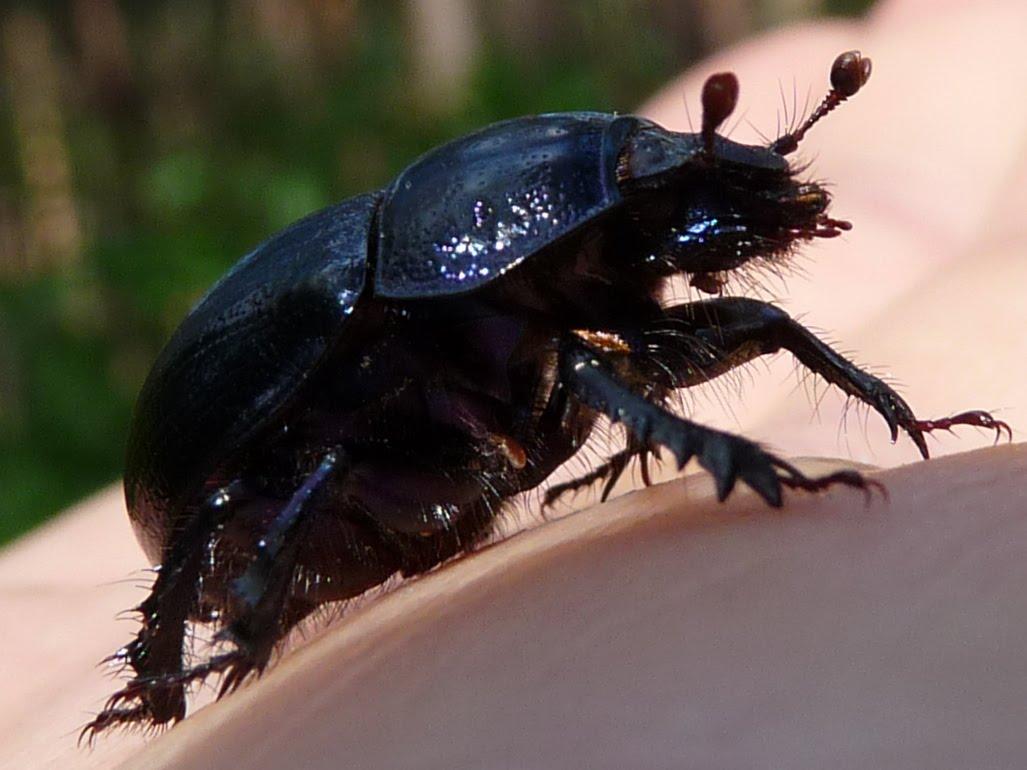 rusted slammed beetle