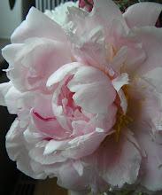 Pion i full blom
