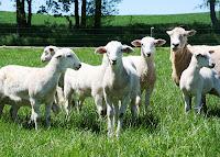 Katahdin lambs on pasture