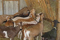 dairy goats eating hay