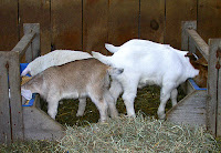 goats eating concentrate diet