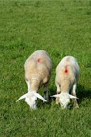 ram lambs grazing
