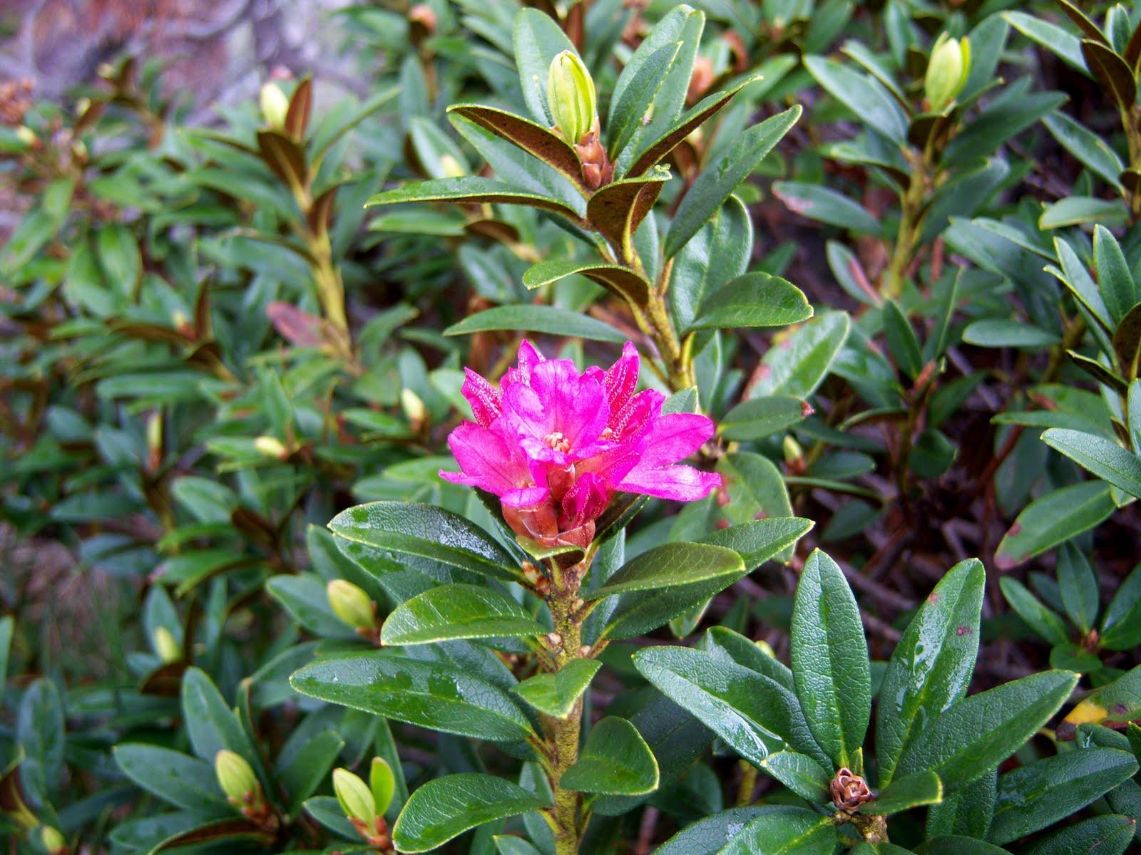 Rododendro bot nic serrat - Rododendro arbol ...