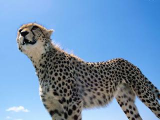 El guepardo es el animal más rápido que existe. Puede acelerar a 110 kilómetros por hora en menos tiempo que un auto deportivo. El cuerpo del guepardo está constituido para la velocidad: sus pulmones y su corazón son enormes para llevar mayor cantidad de oxígeno a los músculos activos; sus garras son largas y curvas para clavarse en la tierra, generando tracción; los músculos de sus patas están organizados de modo que pocas con-tracciones generen grandes cantidades de movimientos de las patas; sus patas, largas y delgadas, y su espalda flexible permiten al animal cubrir más de 6 metros (20 pies) en una zancada.