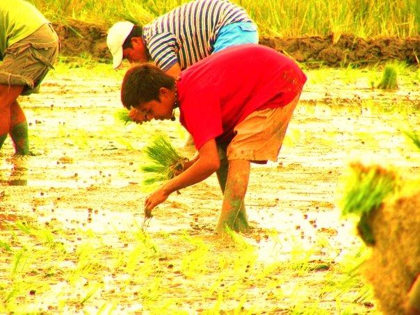 [study.planting+rice]