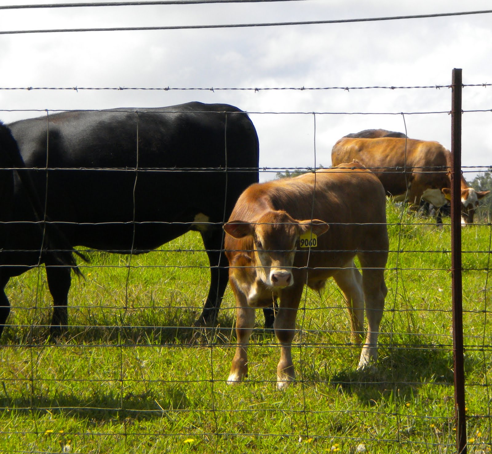 Human cattle smut scenes