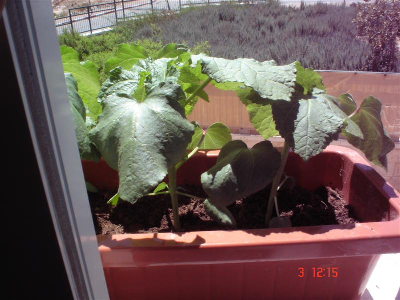 Okra Plant in Pot Here Are my Other Okra Plants