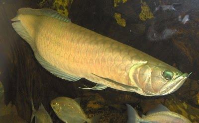 3 10 ikan prasejarah yang masih ada hingga sekarang