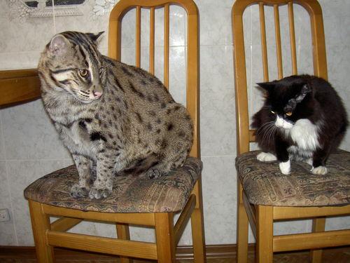 домашние кошки рыболовы