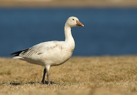 occasional visitor, snow goose