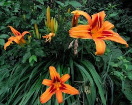 Orange Day Lilies with brushmarks