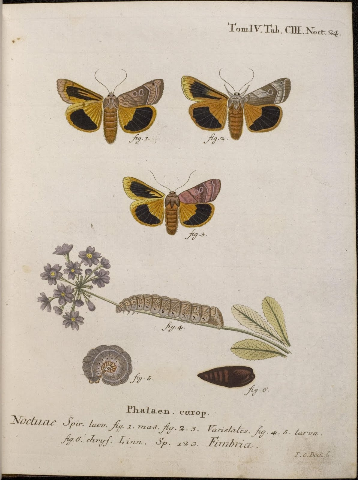 hand-coloured moth illustrations