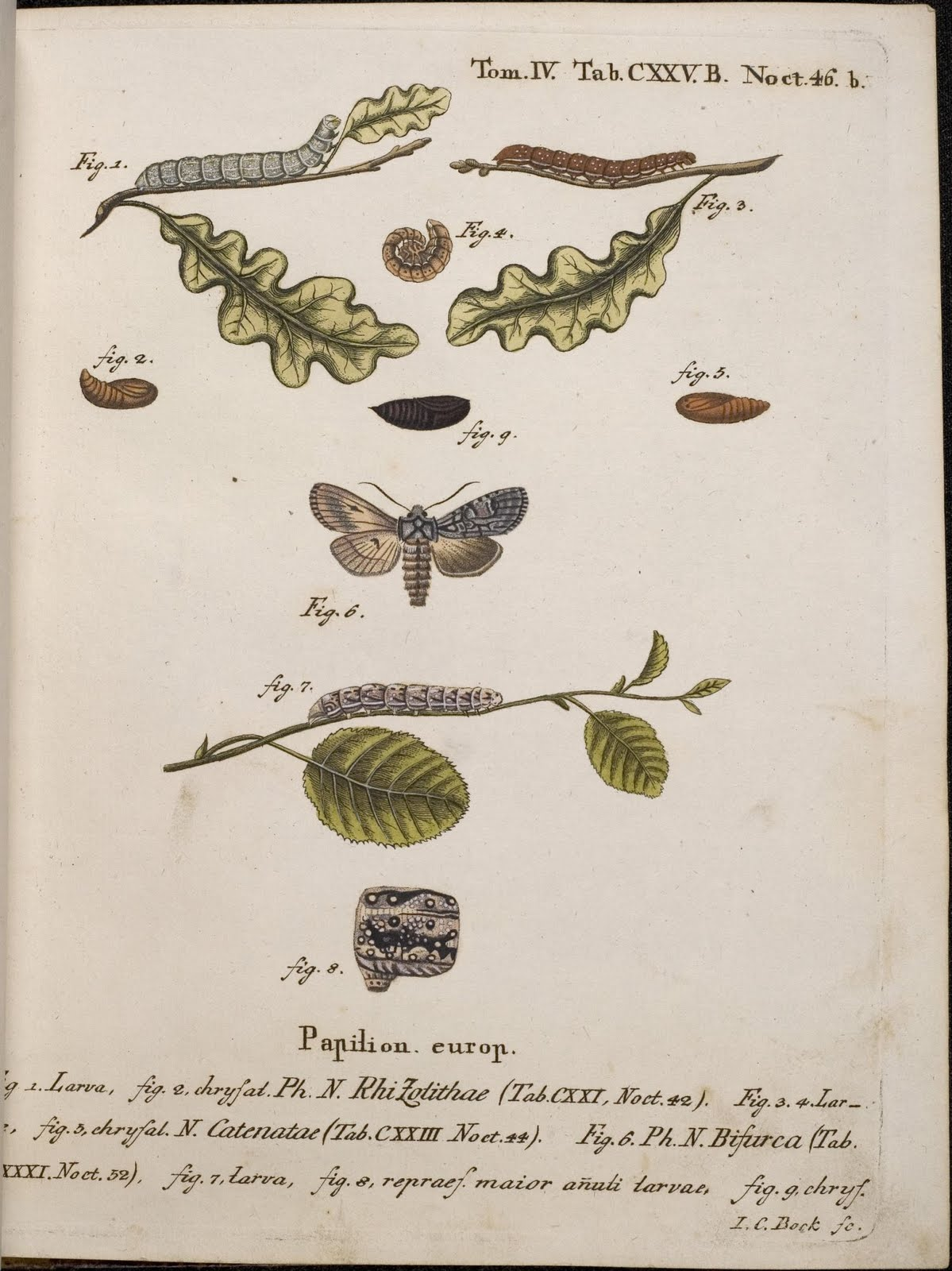 Die Schmetterlinge - moth engravings 18th cent.