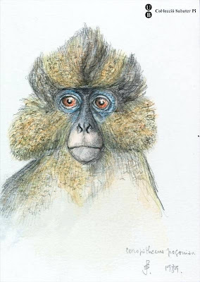 sketch of Crowned Guenon (ape)