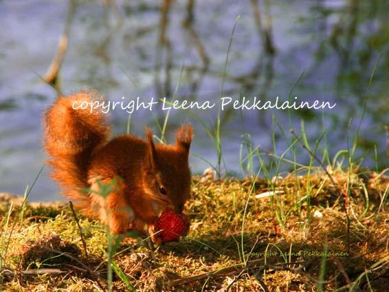 [Strawberry_squirrel_small_copyright.jpg]