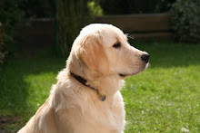 Learn about Golden Retrievers