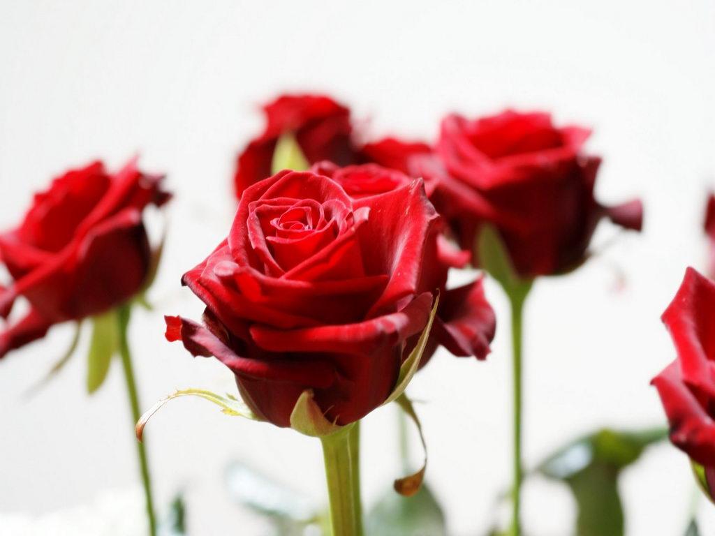 Beautiful Roses Wallpapers Free Download Beautiful b Rose b Wallpapers