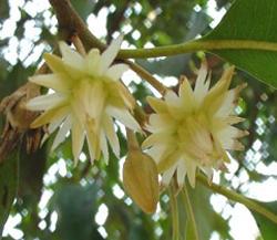 Kamphaeng Phet flower
