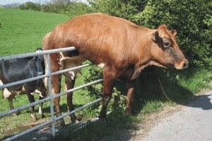 cow stuck on fence, dairy cow, village idiot