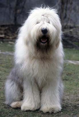old english sheepdog beautiful
