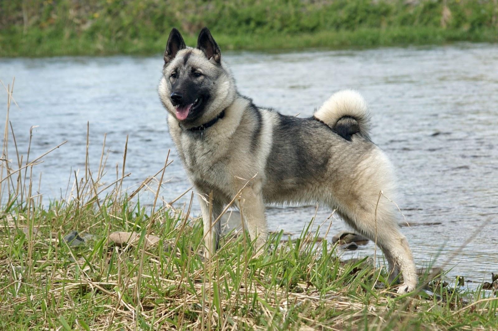 Long-haired Norwegian Elkhound dog on the river, Gourgeous Norwegian Elkhound dog
