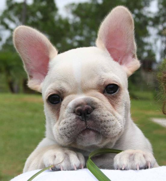 FRENCH BULLDOG CROSS PUPPIES
